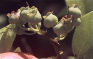 Vaccinium corymbosum (Native)   (click for a larger preview)