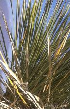 Yucca elata (Native) 3   (click for a larger preview)