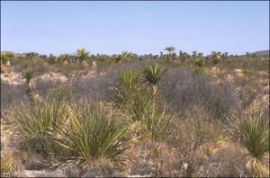Yucca faxoniana (Native)   (click for a larger preview)