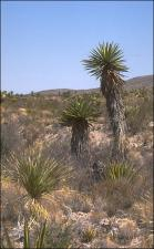 Yucca faxoniana (Native) 2   (click for a larger preview)