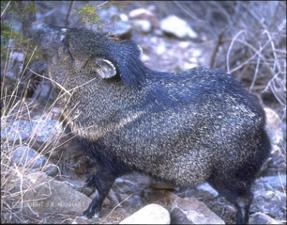 javelina   (click for a larger preview)