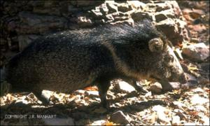javelina 2   (click for a larger preview)