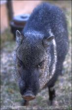 javelina 3   (click for a larger preview)