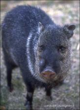 javelina 4   (click for a larger preview)