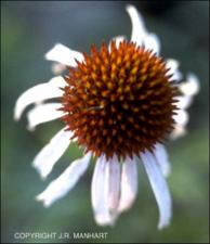 Echinacea angustifolia (Native) 5   (click for a larger preview)