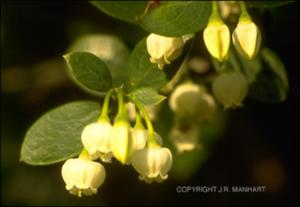 Vaccinium arboreum (Native) 7   (click for a larger preview)