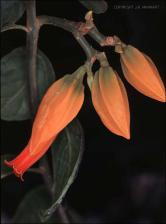 Juanulloa aurantiaca (Cultivated)   (click for a larger preview)