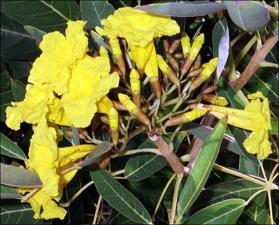 Tabebuia chrysotricha (Cultivated)   (click for a larger preview)