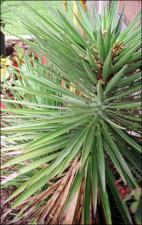 Yucca elephantipes (Cultivated)   (click for a larger preview)