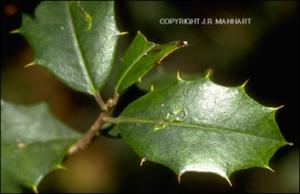 Ilex opaca (Native) 11   (click for a larger preview)