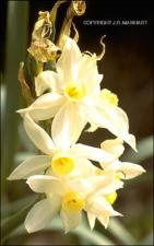 Narcissus tazetta (Cultivated)   (click for a larger preview)