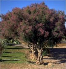 Tamarix ramosissima (Cultivated-Escape)   (click for a larger preview)