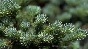 Abies lasiocarpa (Native)   (click for a larger preview)