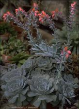 Echeveria x imbricata? (Cultivated)   (click for a larger preview)