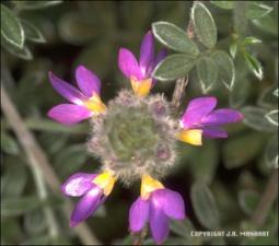 Dalea greggii (Cultivated) 2   (click for a larger preview)