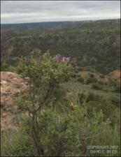 Dalea formosa (Native)   (click for a larger preview)