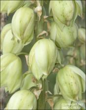 Yucca baccata (Native)   (click for a larger preview)