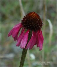 Echinacea atrorubens  (Native)   (click for a larger preview)