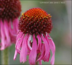 Echinacea atrorubens? (Native) 2   (click for a larger preview)
