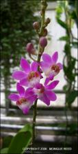 x Doritaenopsis sp. between Doritis and Phalaenopsis (Cultivated)   (click for a larger preview)
