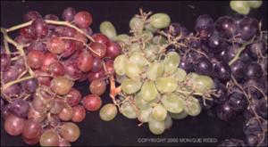 Vitis vinifera (Cultivated)   (click for a larger preview)