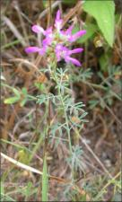 Dalea lasiathera (Native) 2   (click for a larger preview)
