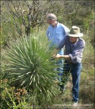Yucca constricta (Native)   (click for a larger preview)