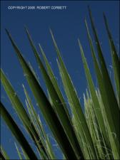 Yucca constricta (Native) 3   (click for a larger preview)