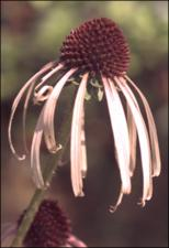 Echinacea pallida (Native) 2   (click for a larger preview)