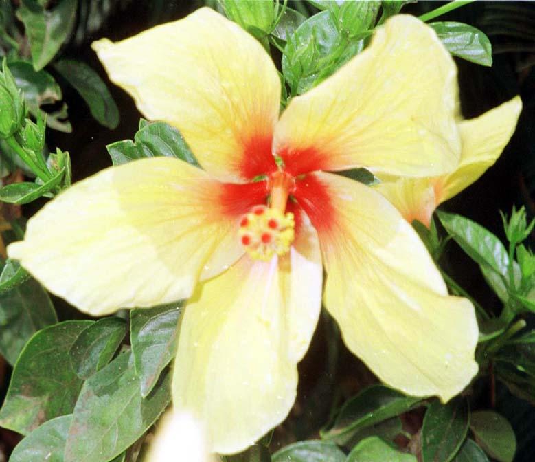 Hibiscus Rosa Sinensis Cv California