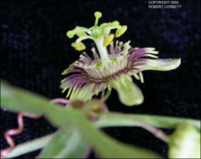 Passiflora tenuiloba (Native) 6   (click for a larger preview)