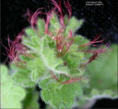 Acalypha monostachya (Native)   (click for a larger preview)