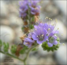 Phacelia congesta (Native)   (click for a larger preview)