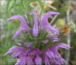 Monarda citriodora var. citriodora (Native) 2   (click for a larger preview)