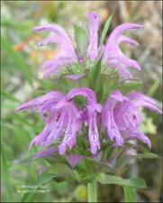Monarda citriodora var. citriodora (Native) 3   (click for a larger preview)