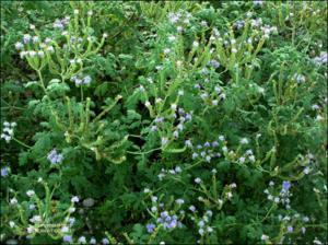 Phacelia congesta (Native) 5   (click for a larger preview)
