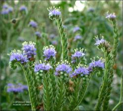 Phacelia congesta (Introduced)   (click for a larger preview)