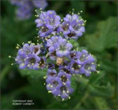 Phacelia congesta (Native) 6   (click for a larger preview)