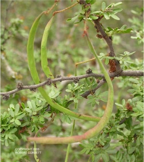 Acacia Rigidula Native